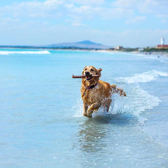header-golden-retreiver-at-beach-society-health_0